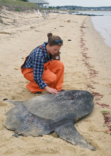 NECWA intern inspecting dead ocean sunfish that stranded on Cape Cod